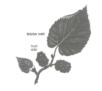 murier-feuille-labeaume